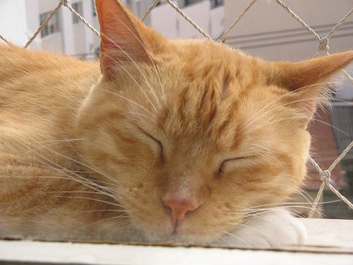 o gato amarelo boris, dormindo na janela