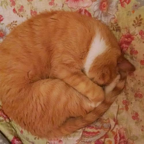 gato amarelo dorme enrodilhado